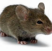 Мышиный ген и рак брюшины